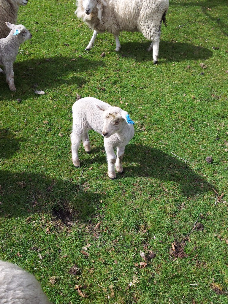One of our new young lambies, just weeks old, checks out what I'm up to!