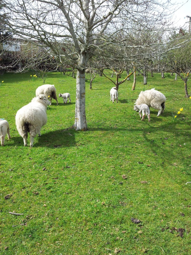 The sheep - and lambs - in the hazelnut orchard. We have about 75 trees, all organic, and the farm is run on permaculture principles.