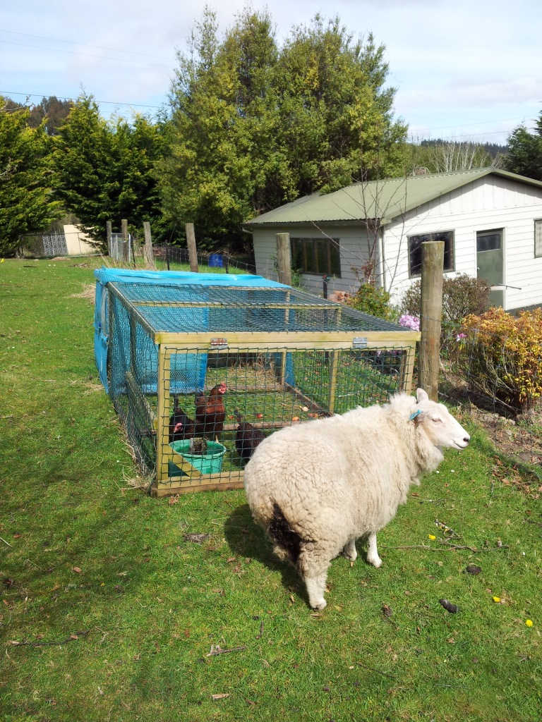 Gabby the sheep getting in the way of a clear photograph!
