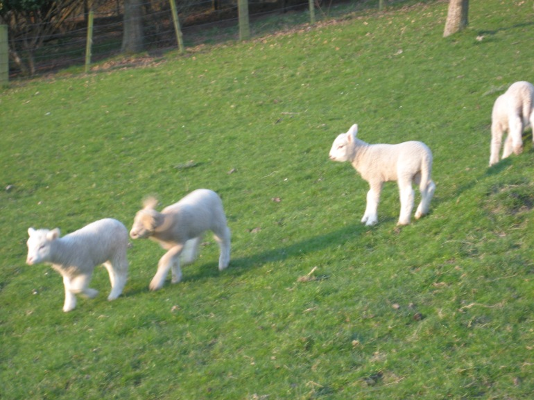 Some of our young lambs playing on the hillside