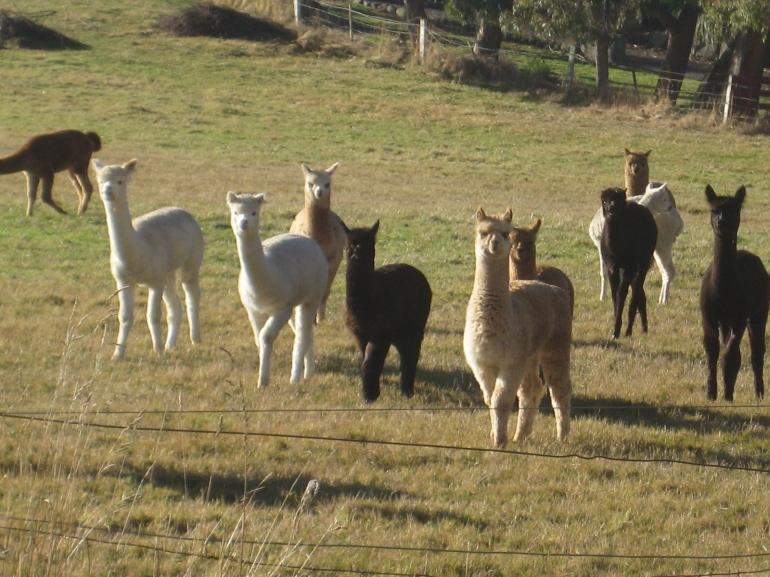 Just down the road a wee bit...the alpaca farm