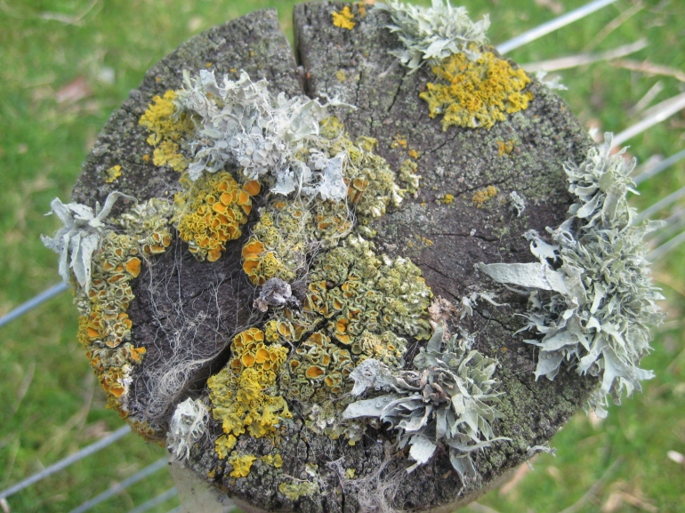 Lichen on one of our old fence posts
