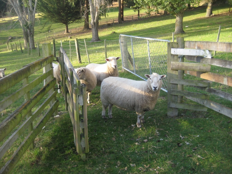 Sheep moving into the yards for sorting