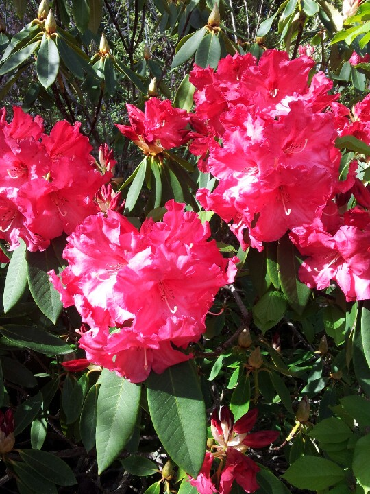 And everywhere I look, the rhododendrons are a burst of colour!
