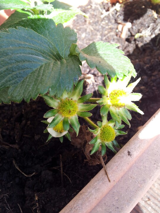 The strawberries I planted just yesterday are already starting fruit