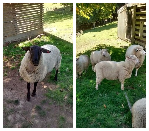 The ram we got in a few months back (named Ramone), and our flock of mixed breed sheep.