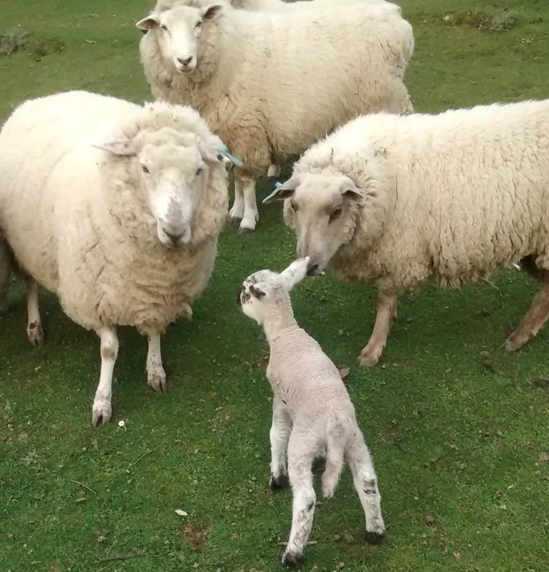 Sonia says hello to the other sheep
