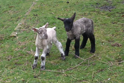 Our twin lambs, Joshua and Chocolate.