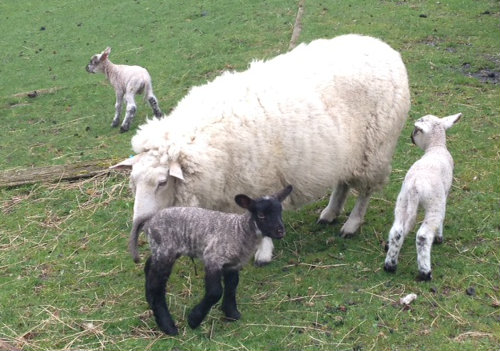 The twins with their mum. That's Sonia the lamb in the background.