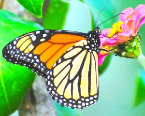 Monarch butterfly Peter Miller