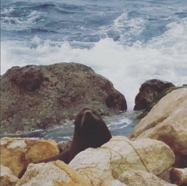 Sealions, Aramoana, Dunedin